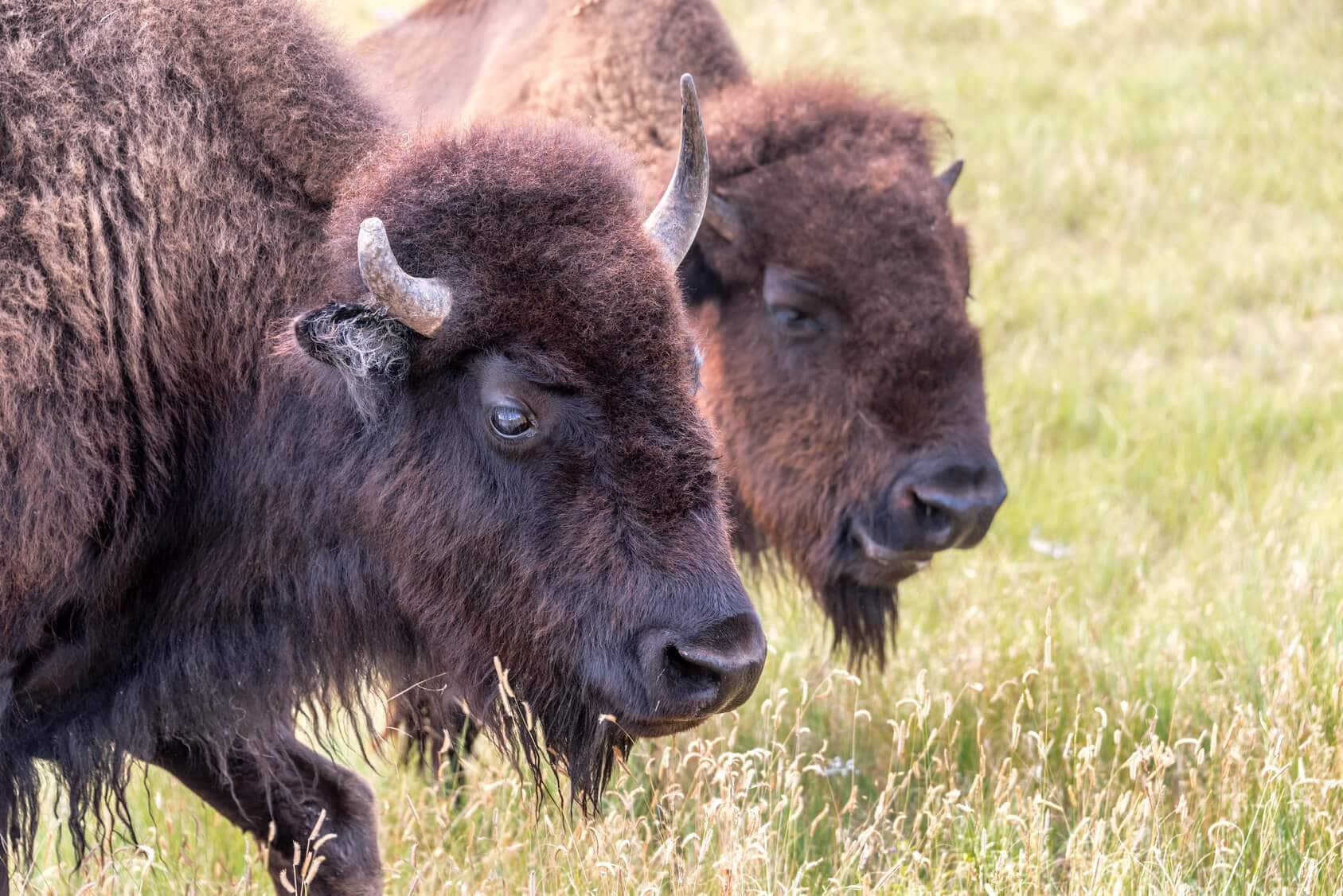 Bison in der Prärie _Fotolia 104322108 M